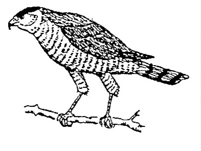 A line art drawing of a Coopers Hawk