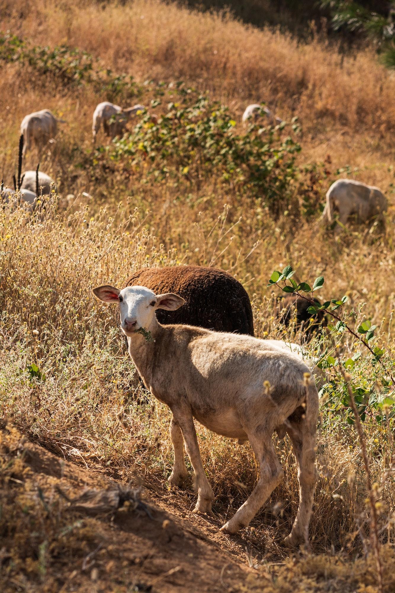 May contain: sheep, mammal, animal, bird, and ground