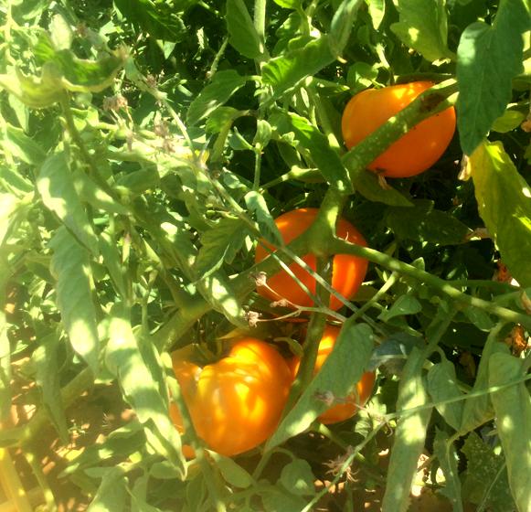Fresh Summer Tomato Crops!