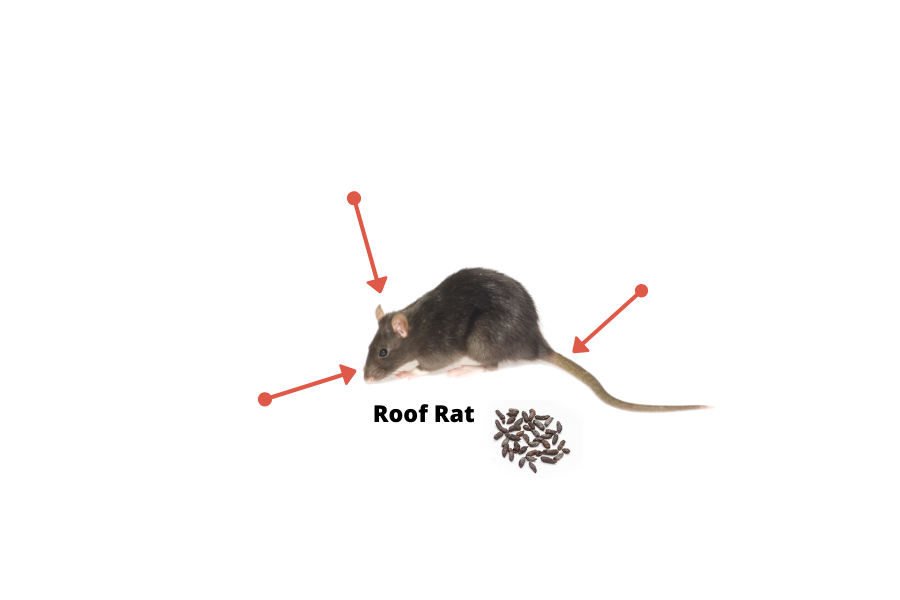 May contain: rat, animal, mammal, and rodent