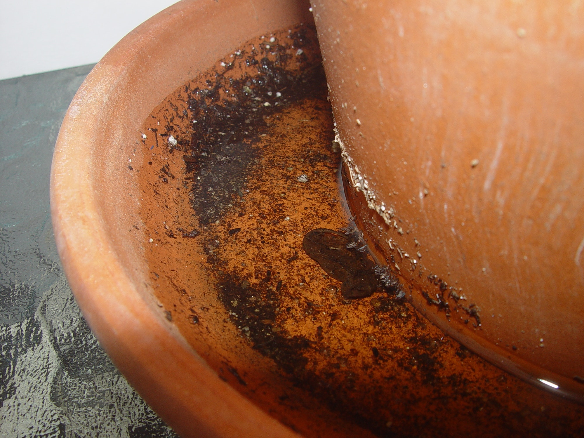 Inspectors constantly find Aedes larvae and pupae in flowerpot saucers.