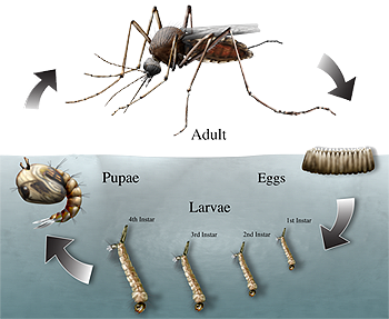 Mosquito Life Cycle