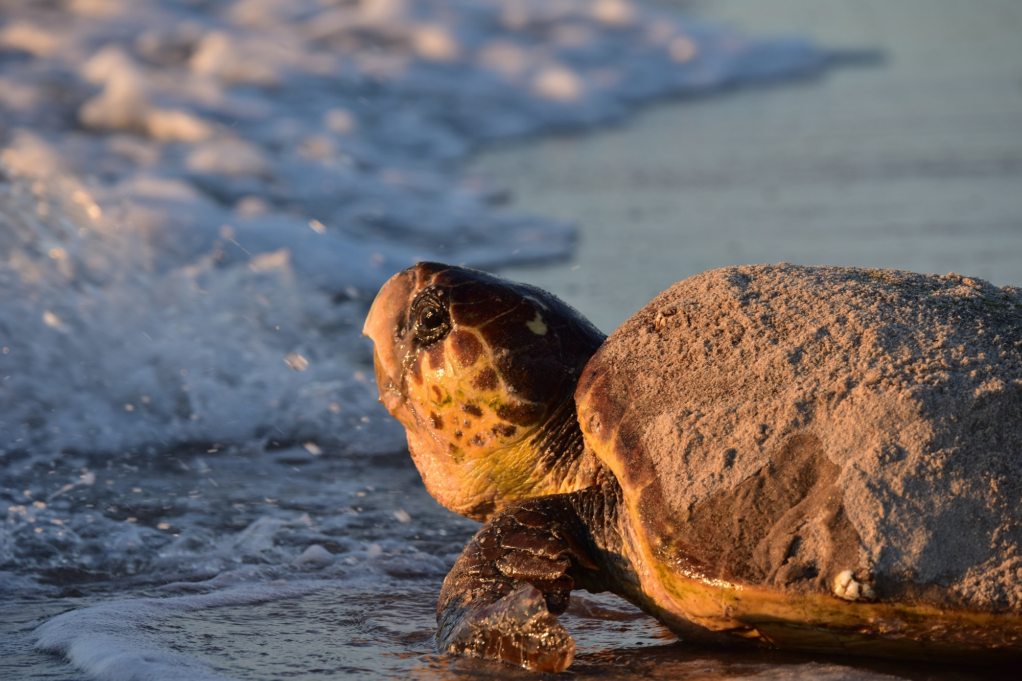 loggerhead sea turtle entering surf
