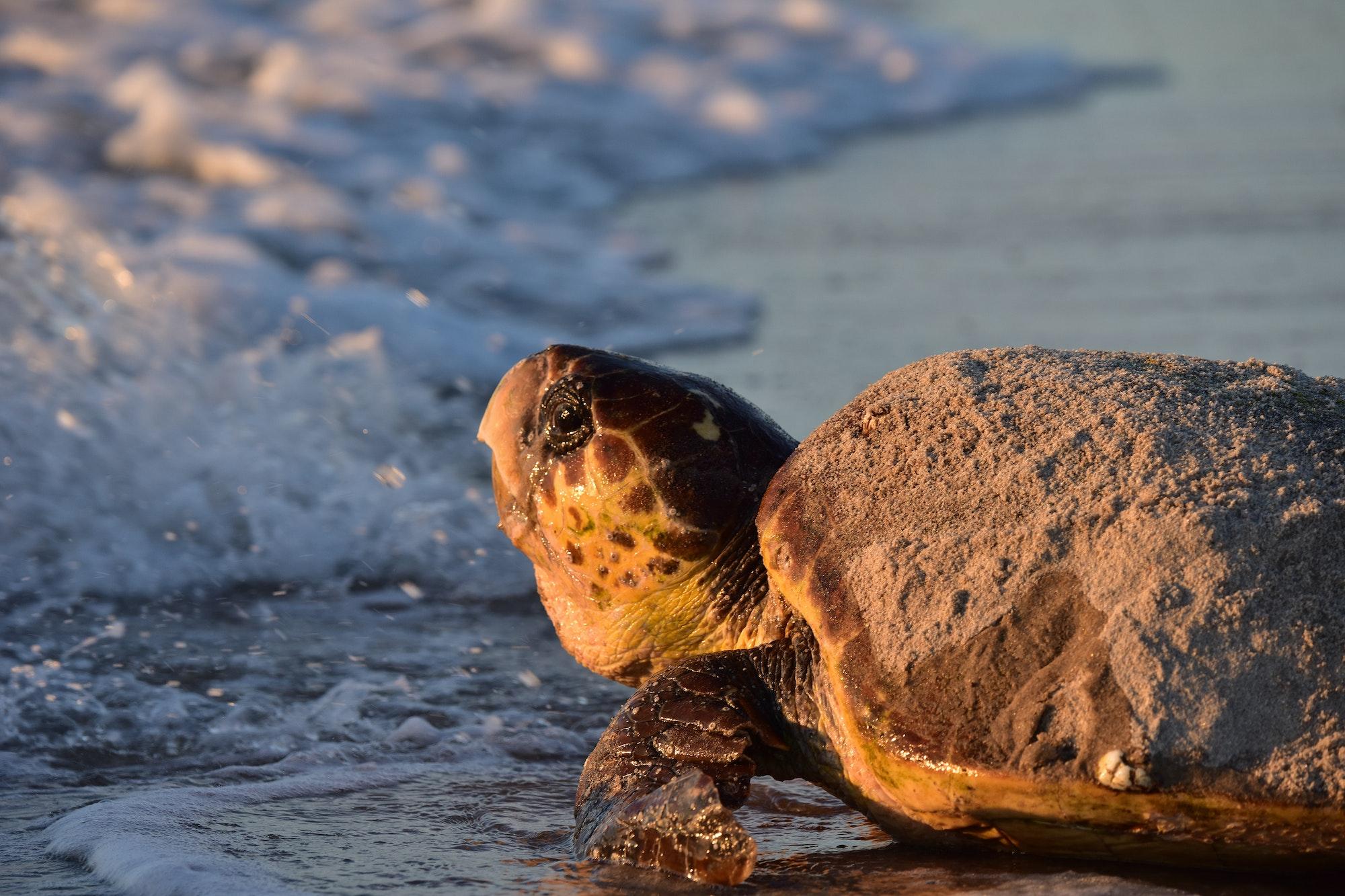 loggerhead sea turtle entering surf