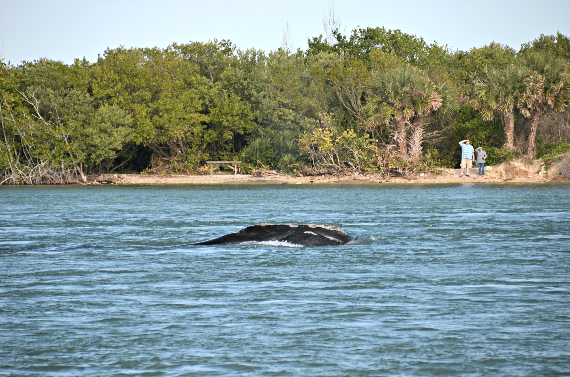 North Atlantic Right Whale in Sebastian Inlet channel