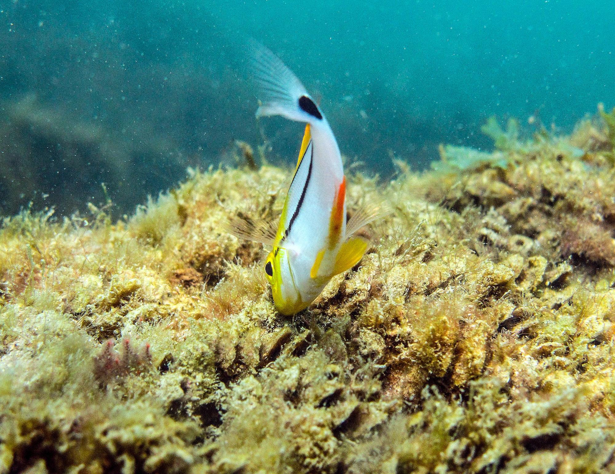 juvenile porkfish foraging on reef