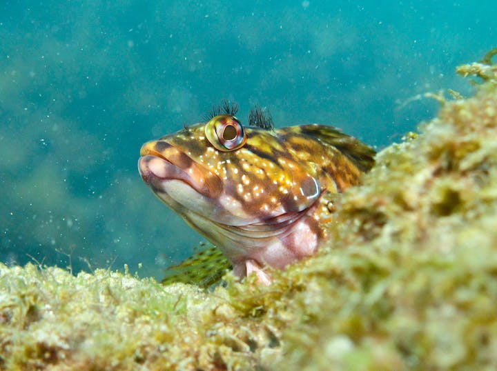 colorful hairy blenny fish hiding in underwater reef structure