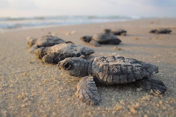 sea turtle hatchlings on beach