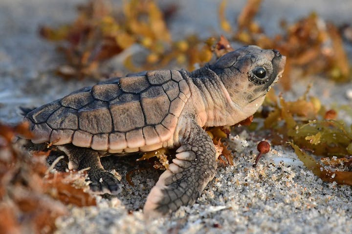 loggerhead sea turtle hatchling crawls through seaweed on beach