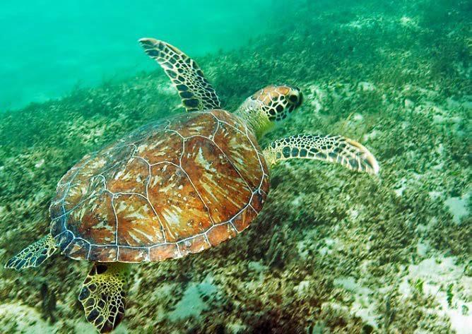 sea turtle swimming in nearshore habitat