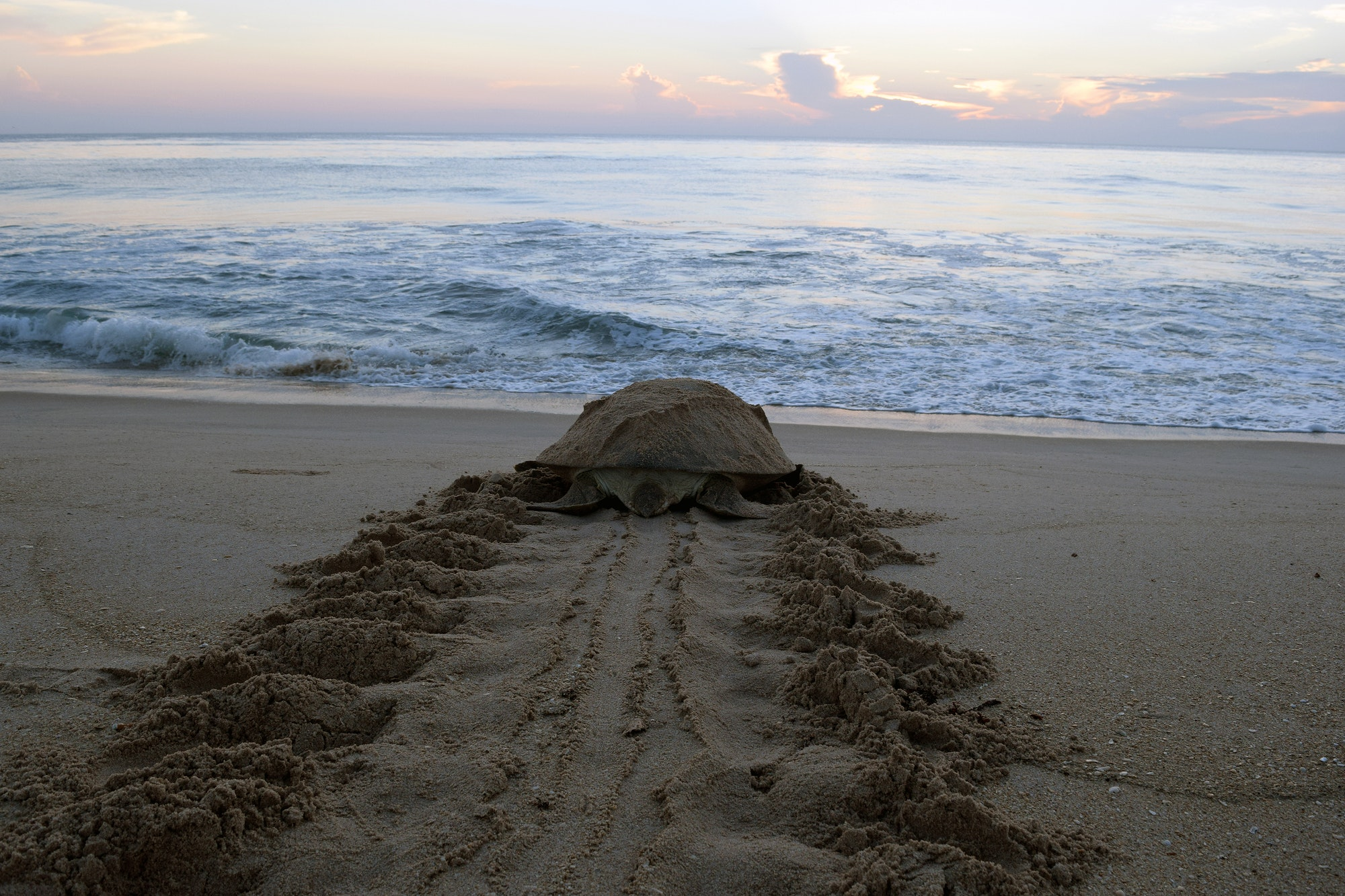 green sea turtle headed back to beach with tracks on beach
