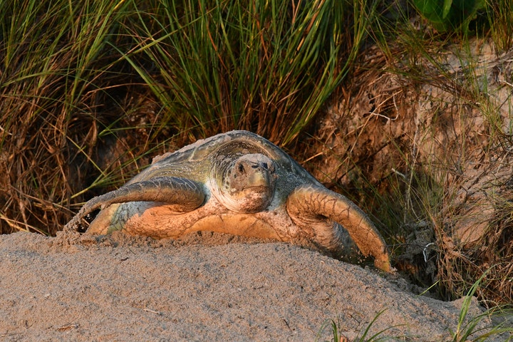 nesting green sea turtle in dune laying eggs