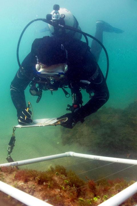 scuba diver examining a quadrasect of algae