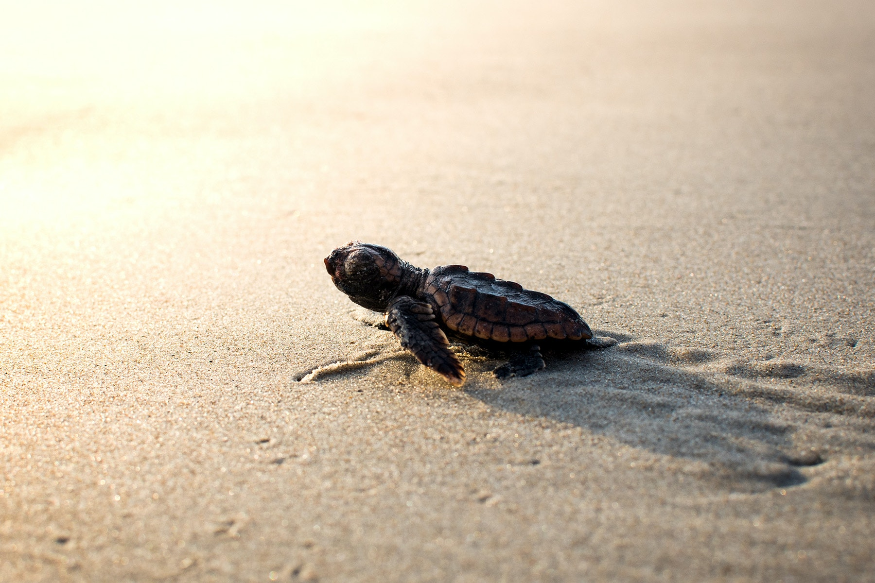 sea turtle hatchling on beach