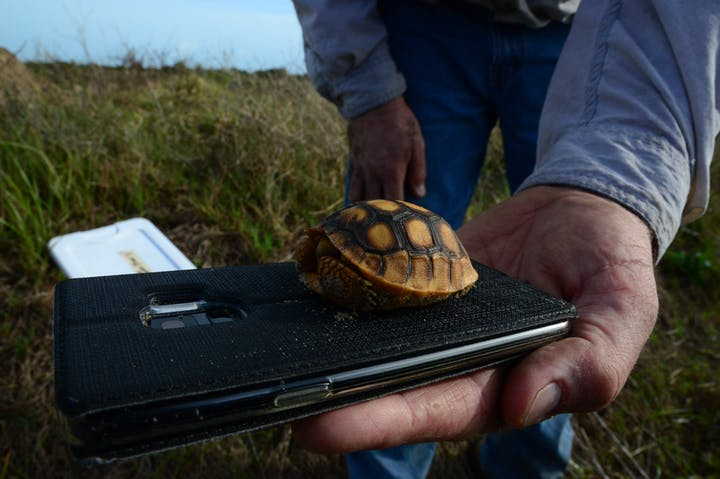 man holding cell phone with baby gopher tortoise on top