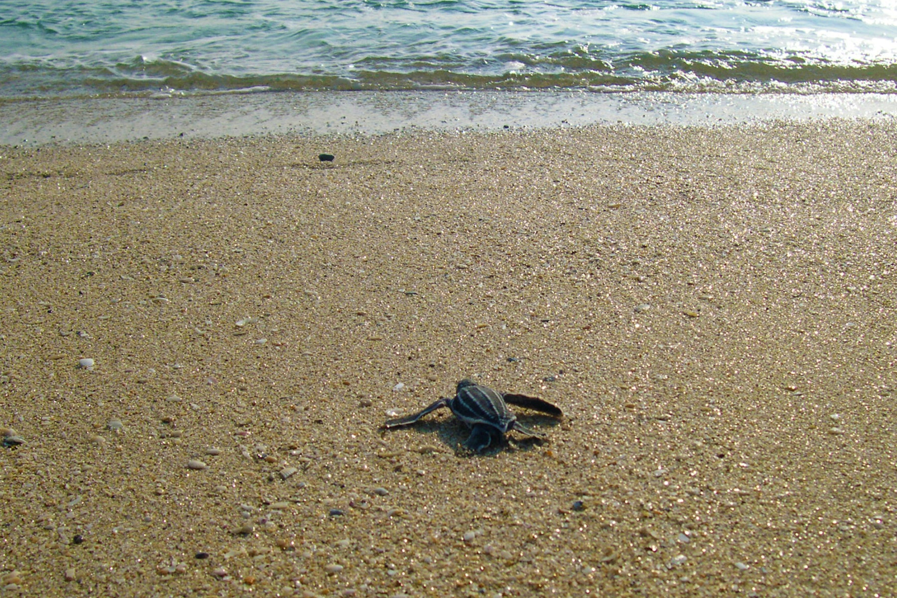 leatherback sea turtle hatchling on beach headed to ocean