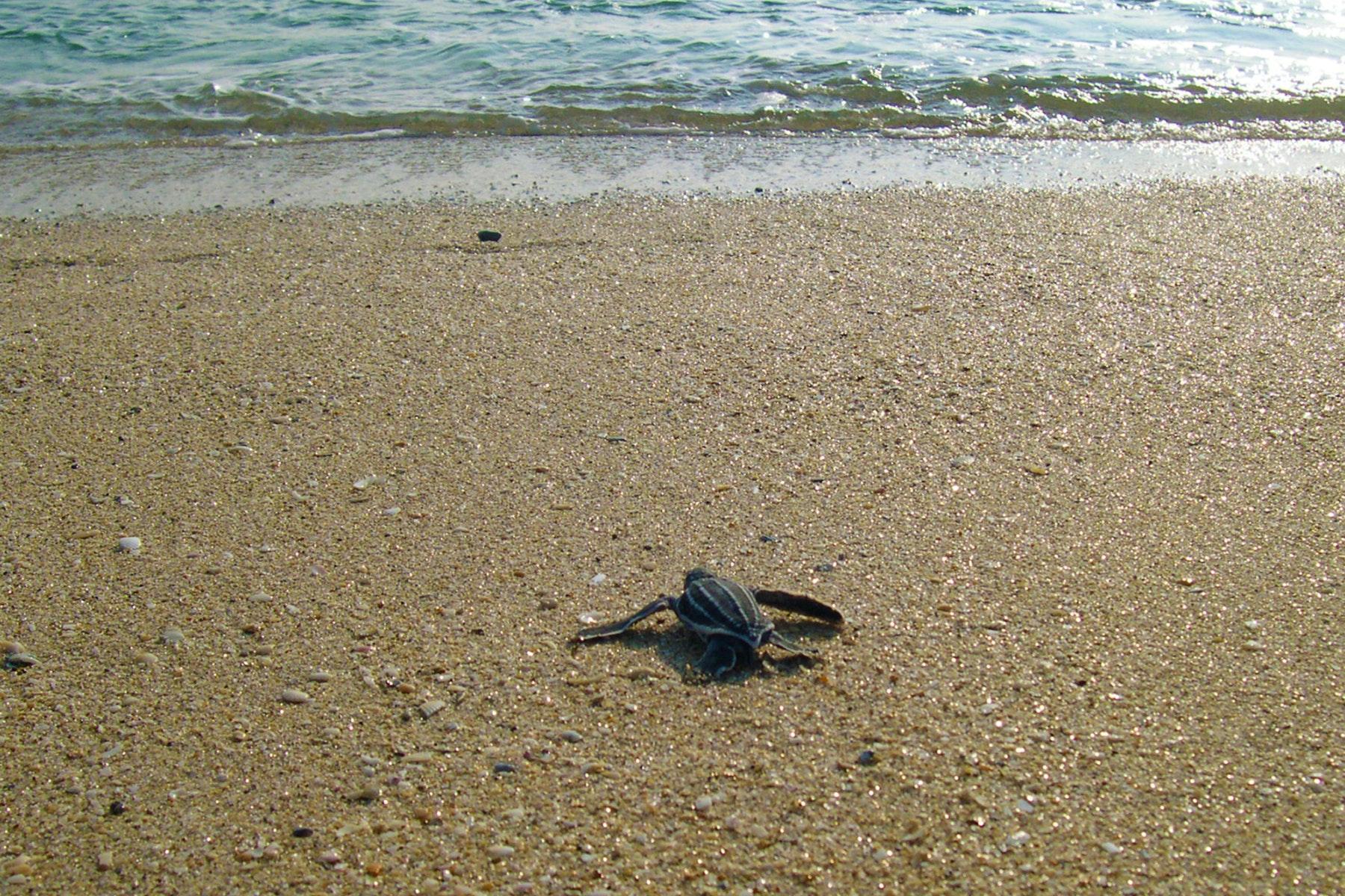 leatherback sea turtle hatchling on beach headed to ocean