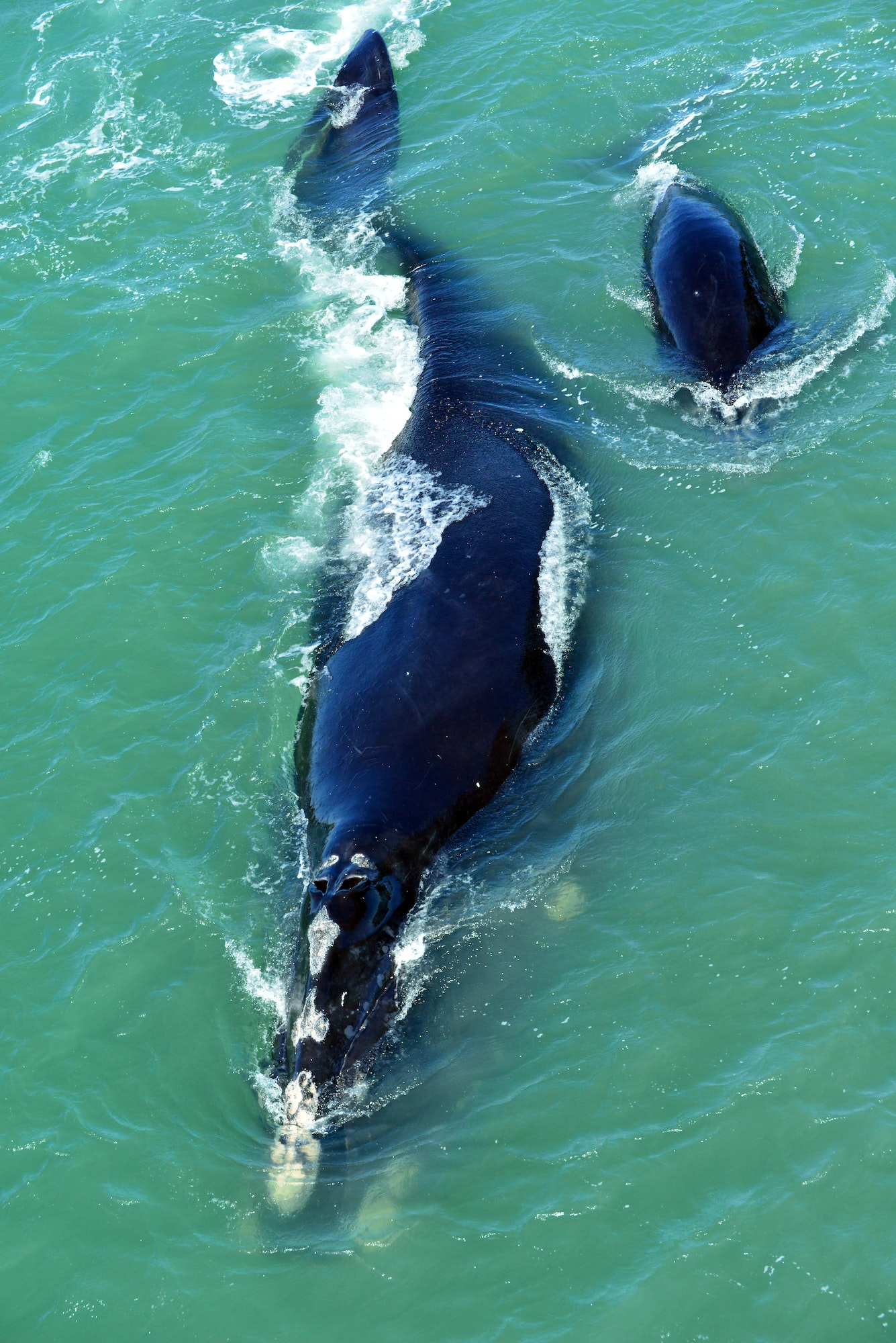 North Atlantic Right Whale swimming with calf