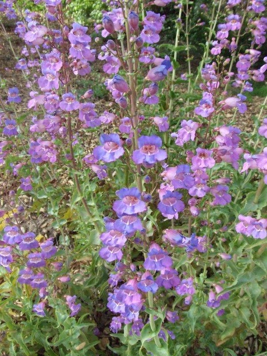 May contain: garden plant, showy Penstemon