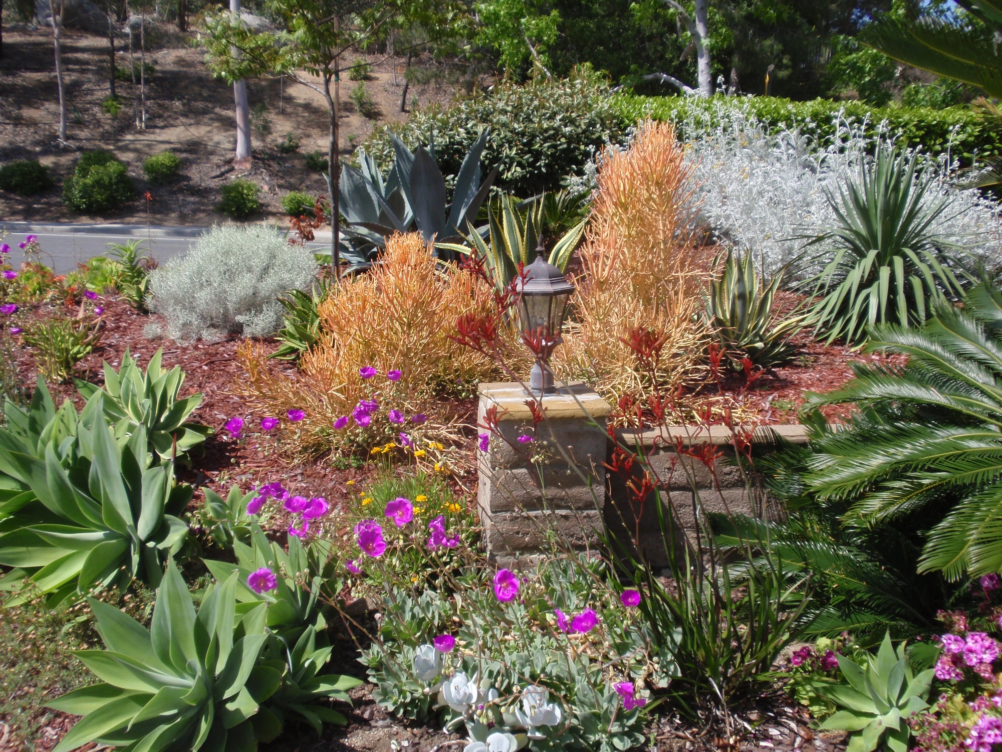 WaterSmart Landscaping with agaves, aloes and firestick