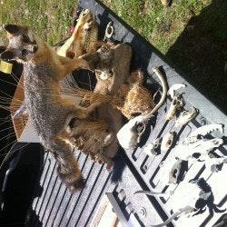 fox and skull demonstration