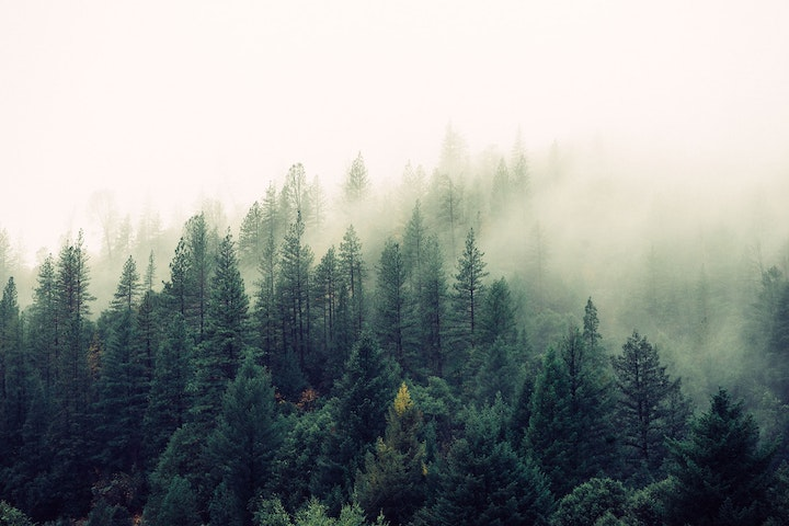 Forest, trees, and fog