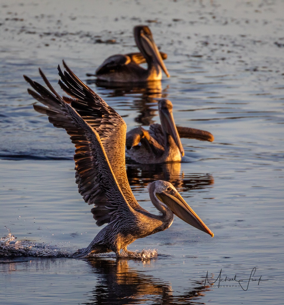 May contain: bird, animal, and pelican. Photo by Michael Funk.