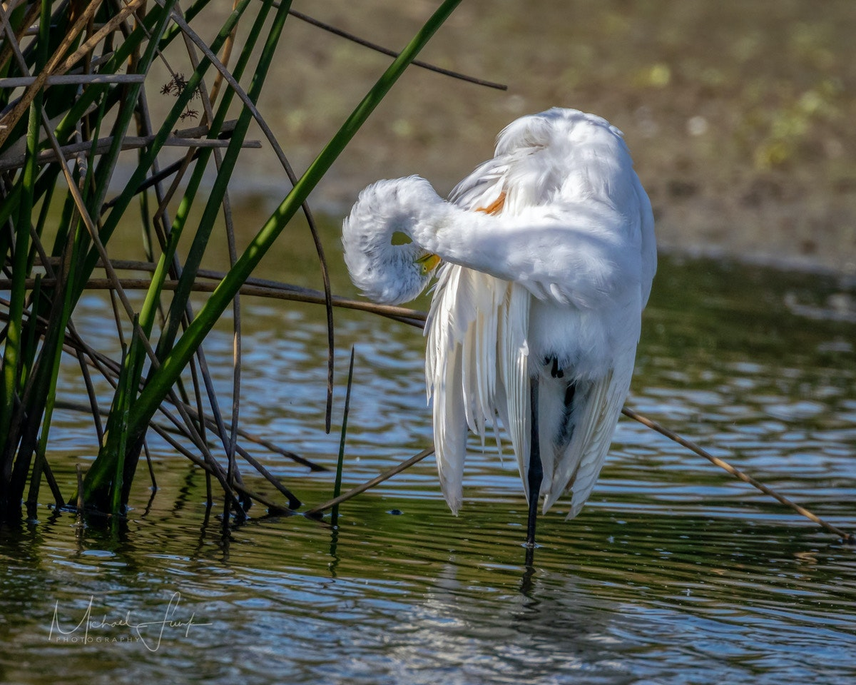 May contain: animal, bird, heron, ardeidae, waterfowl, and egret. Photo by Michael Funk.