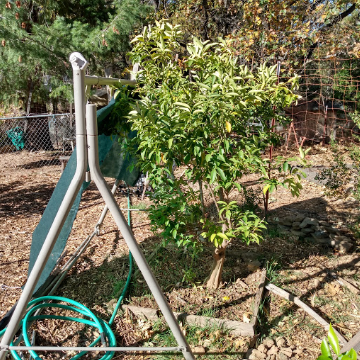 Kumquat tree moved away from home
