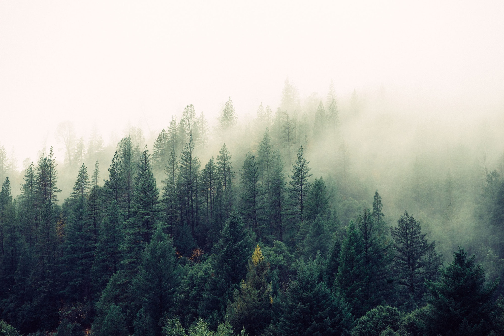 trees and fog