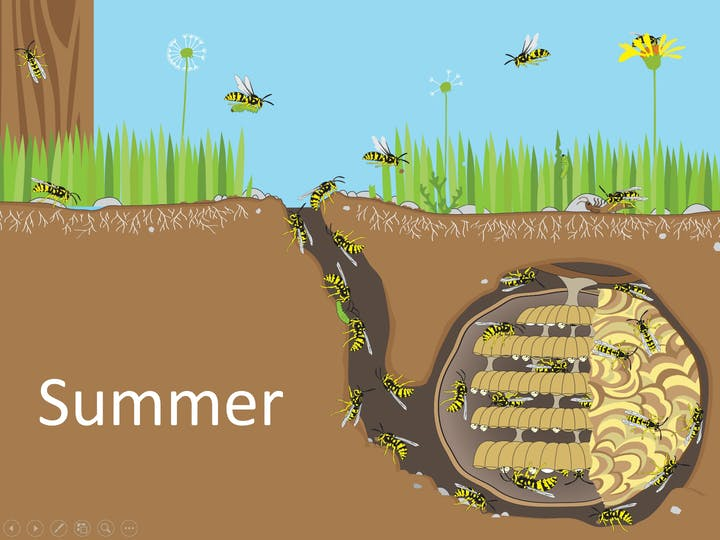 Diagram of a yellowjacket nest during the summer