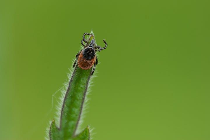 Questing Tick