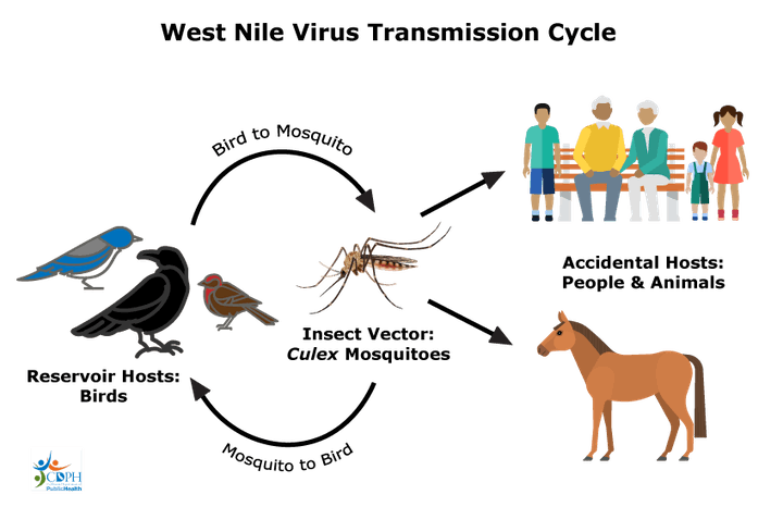 West Nile virus transmission cycle