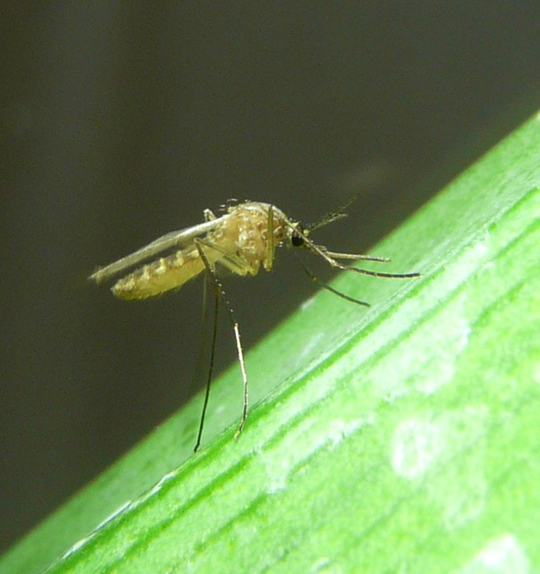 Culex tarsalis