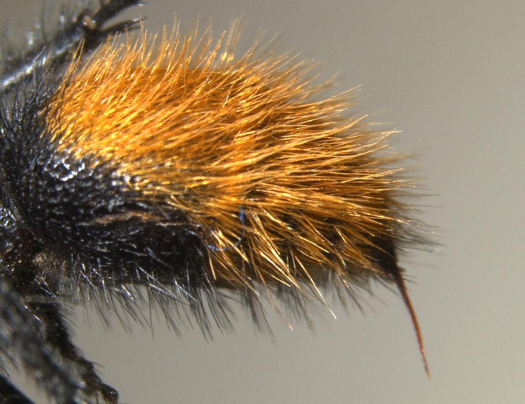 Velvet ant, sting