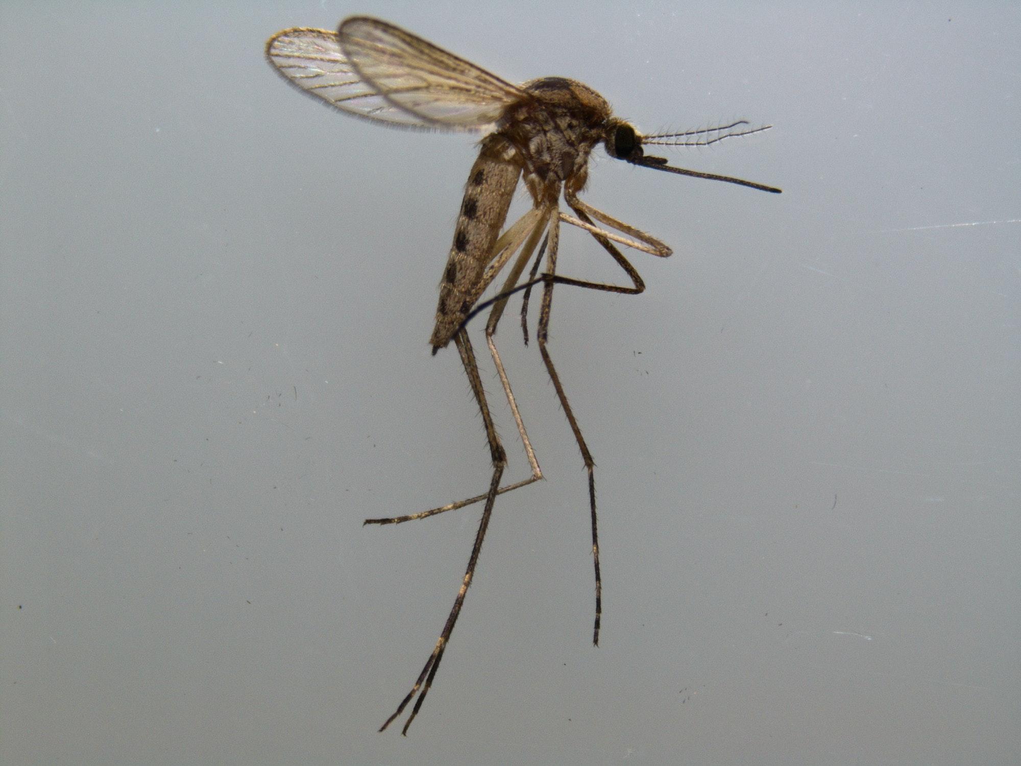 Aedes dorsalis mosquito