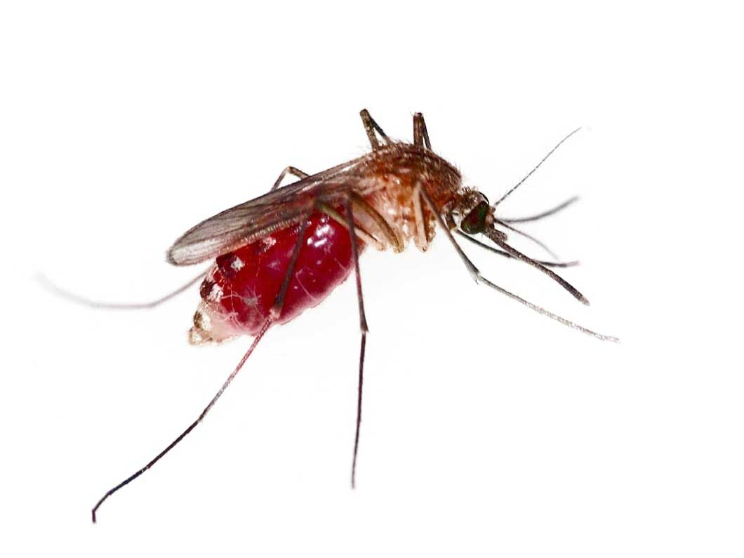 Blood-fed mosquito