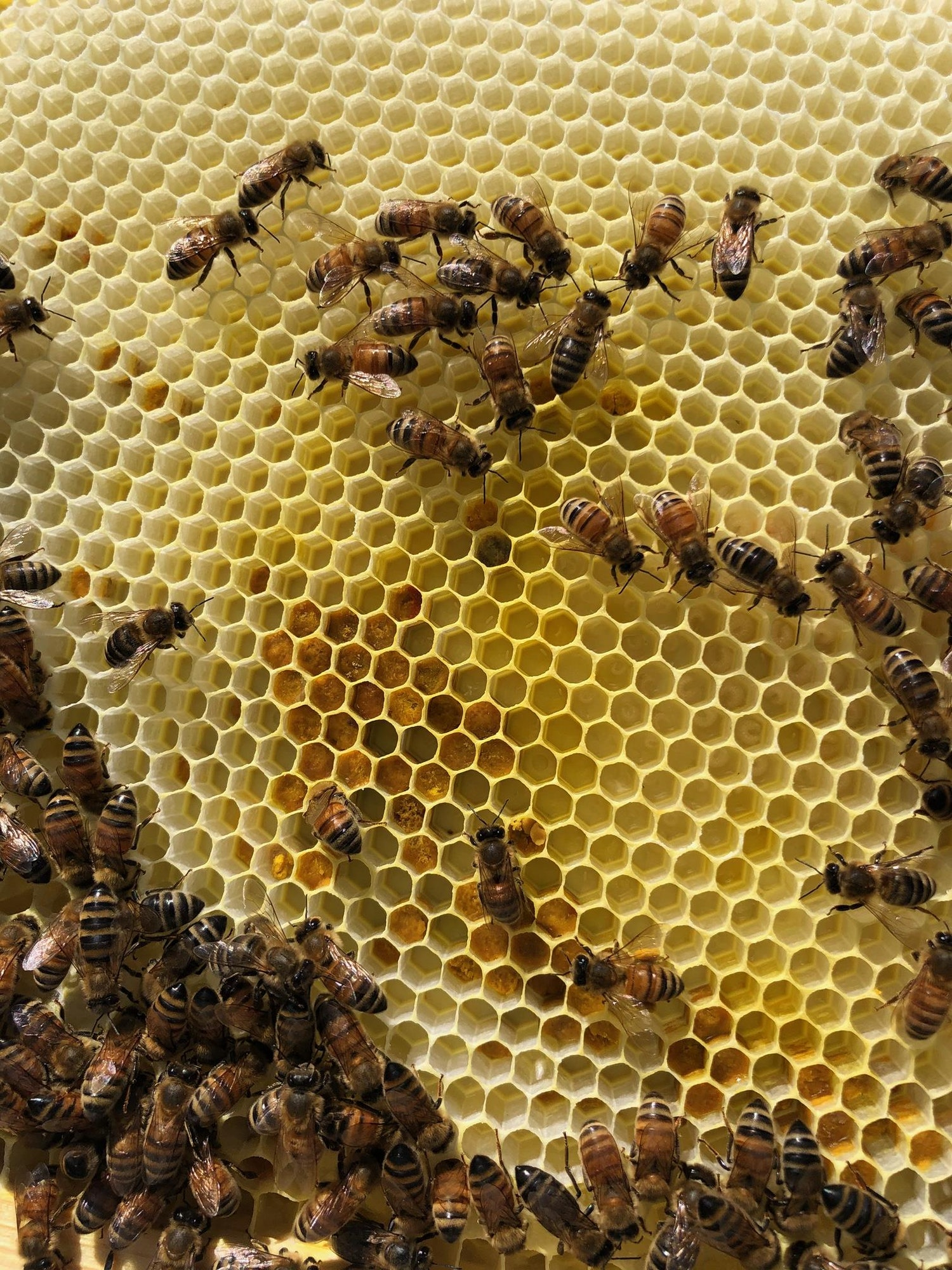 May contain: honey bee, animal, invertebrate, insect, and bee