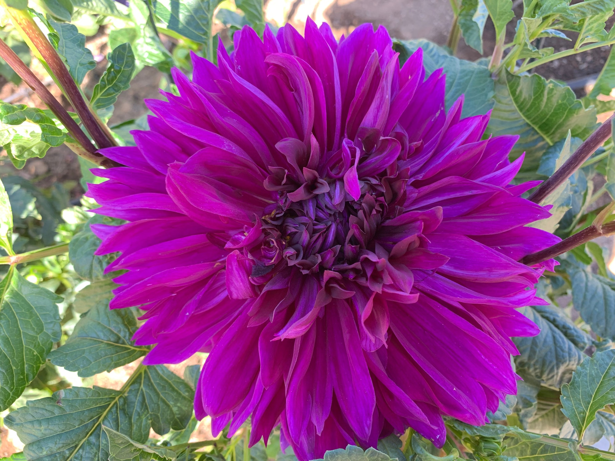 May contain: blossom, dahlia, flower, plant, and purple