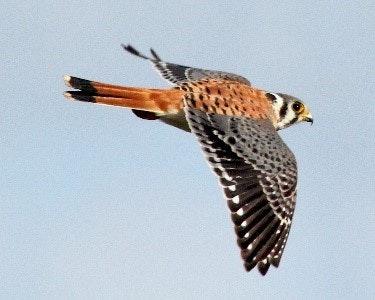 May contain: accipiter, animal, bird, and kite bird