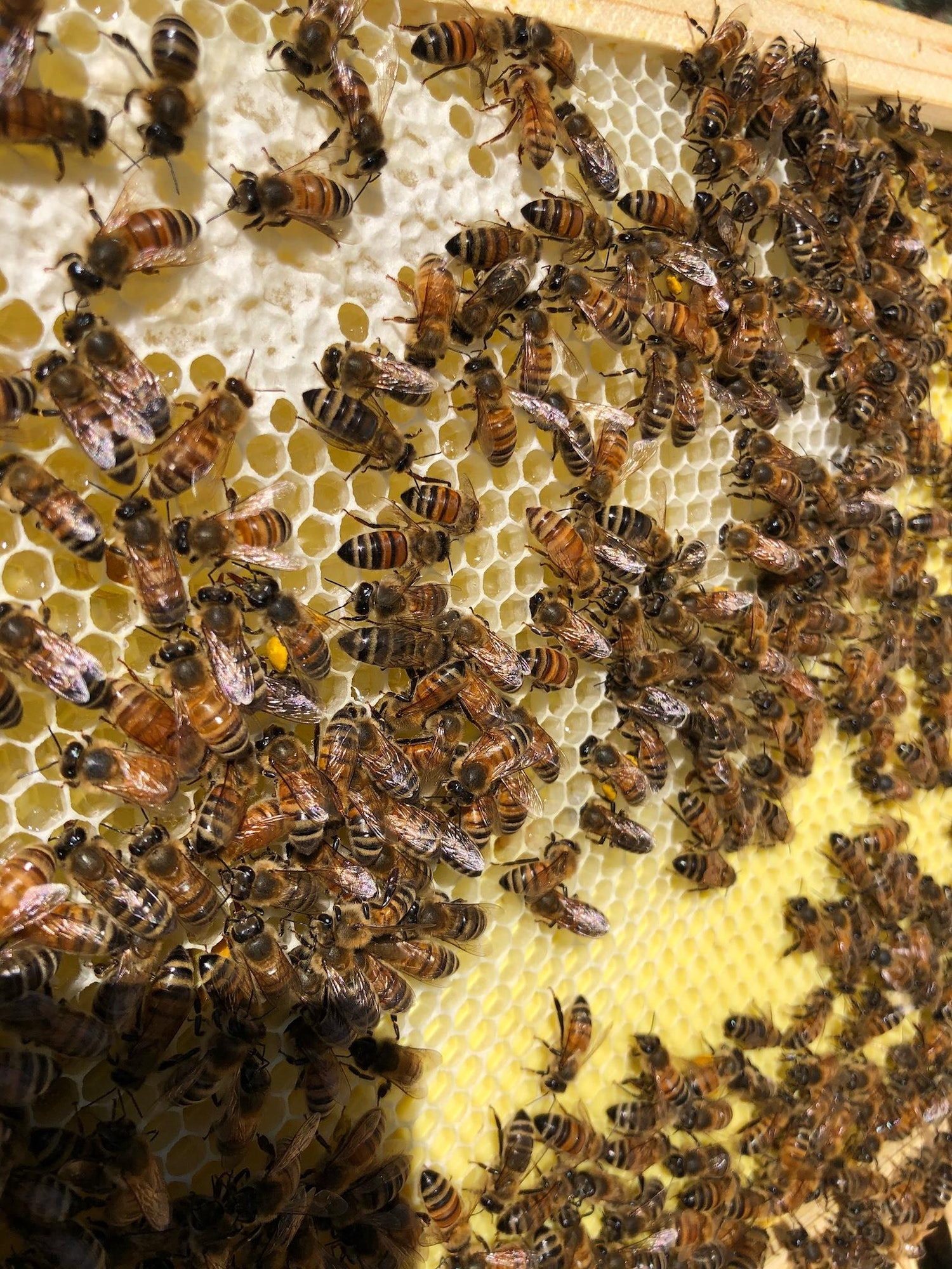 May contain: honey bee, animal, invertebrate, insect, bee, apidae, and food