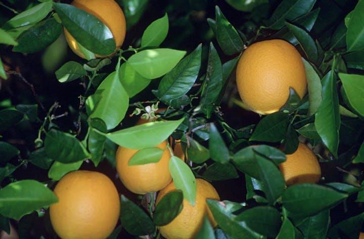 May contain: citrus fruit, plant, fruit, food, grapefruit, produce, and orange