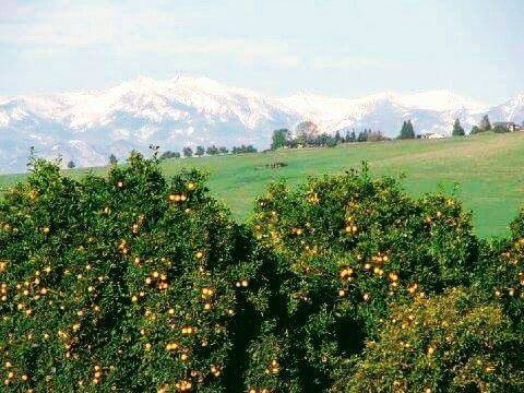Citrus trees in the country with mountains in the background