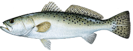 drawing of a spotted sea trout with spots on back and tail fin