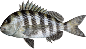 drawing of a sheepshead with zebra stripes