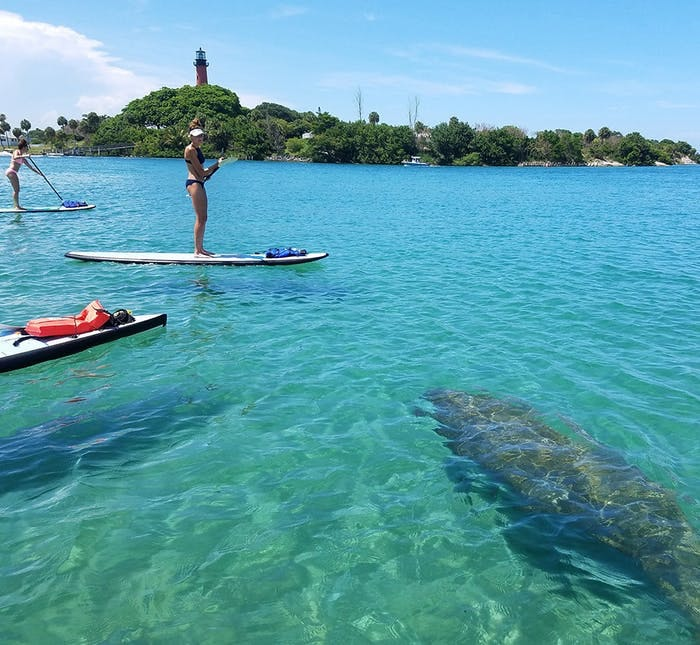 paddleboarders on the water in front of the Jupiter lighthouse with manatees swimming in the foreground