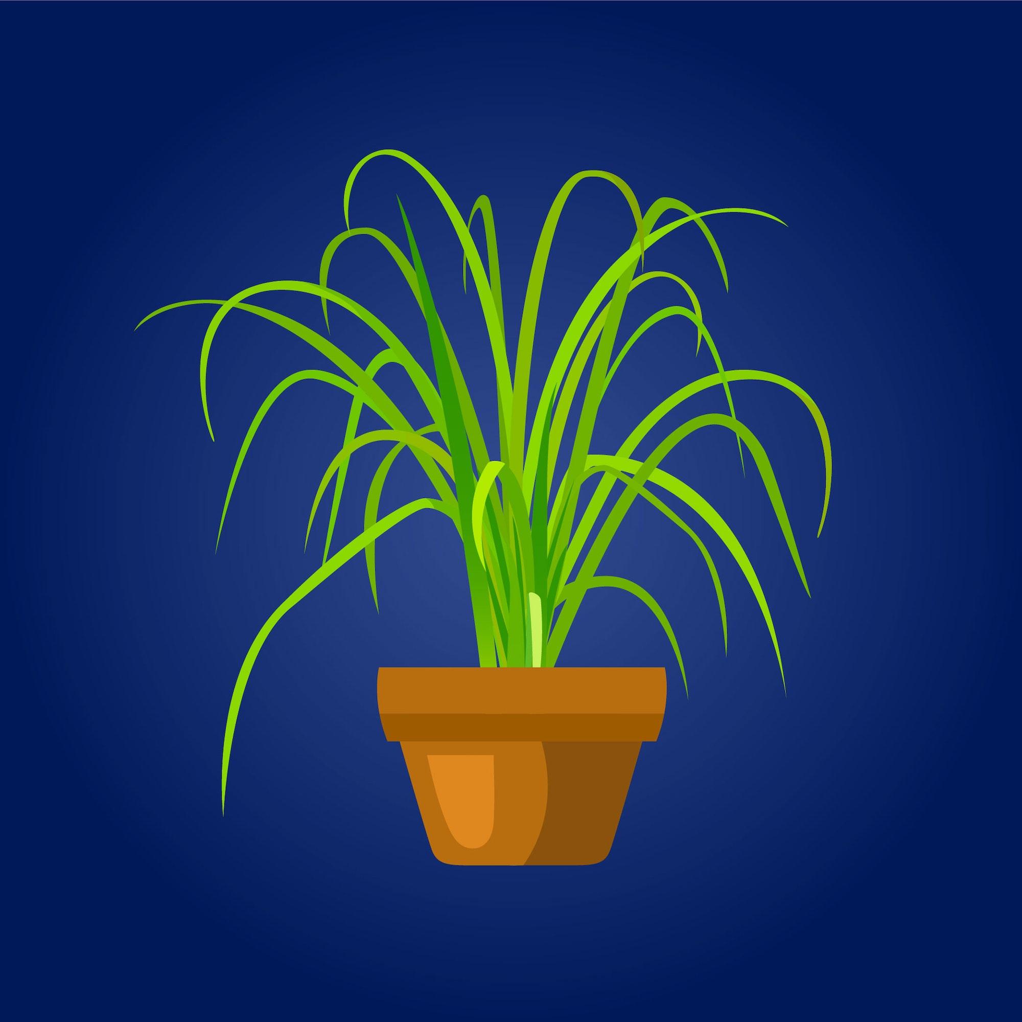 May contain: citronella plant