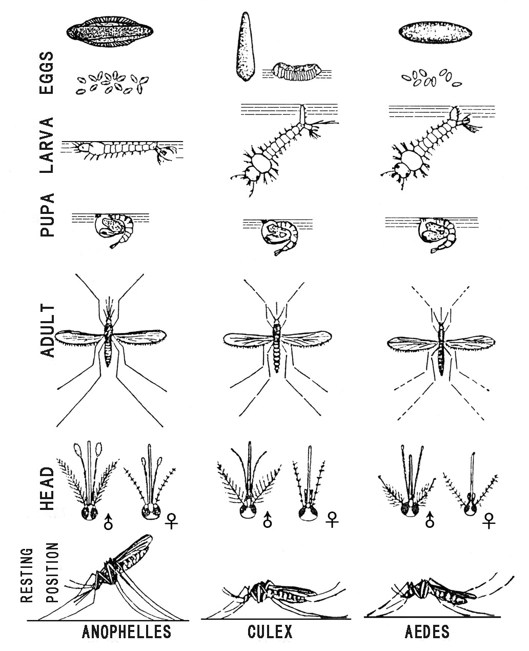 A pictorial guide for Aedes, Culex, and Anopheles mosquito life stages
