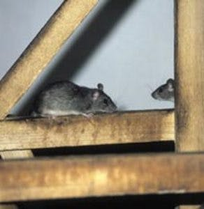Roof rats in attic