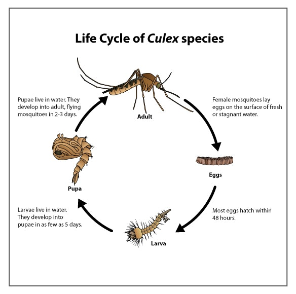 Culex mosquito lifecycle